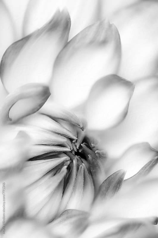 Dahlia in black and white, closeup by Mark Windom for Stocksy United