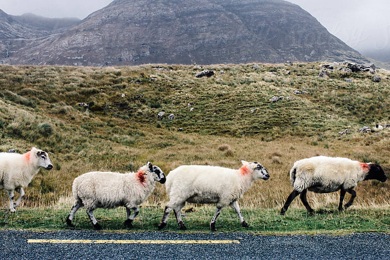 Sheep Crossing by Hung Quach for Stocksy United
