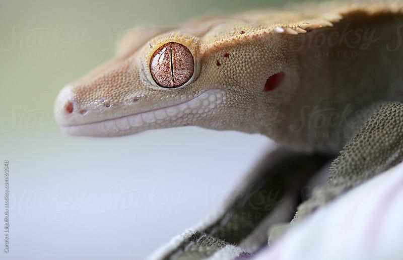 Eyelash crested gecko profile by Carolyn Lagattuta for Stocksy United
