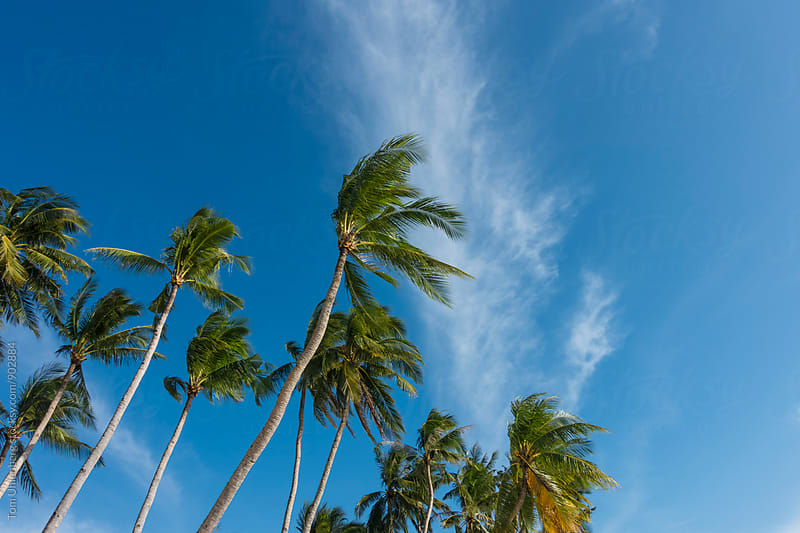 Palm Trees and Blue Sky by Tom Uhlenberg for Stocksy United
