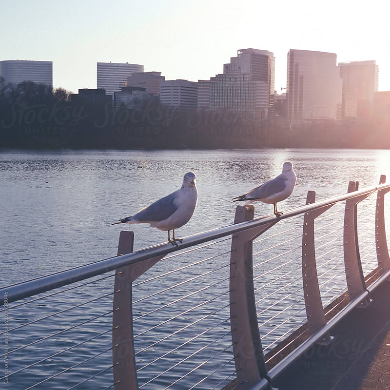 Gulls Perched Upon Guard Rail Along The Potomac River by Cameron Whitman for Stocksy United