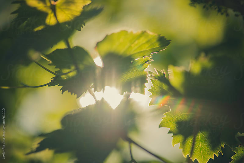 sunlight between the leafs by Javier Pardina for Stocksy United