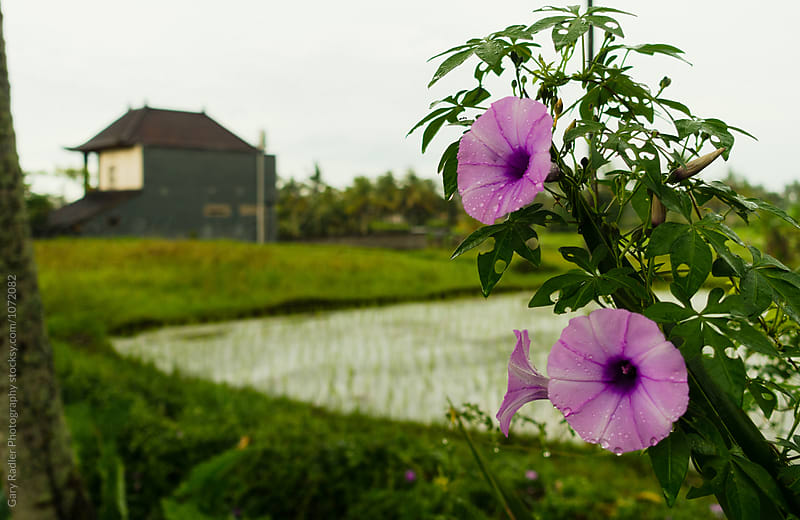 Lilac Flowers in a Bali Rice Field by Gary Radler Photography for Stocksy United