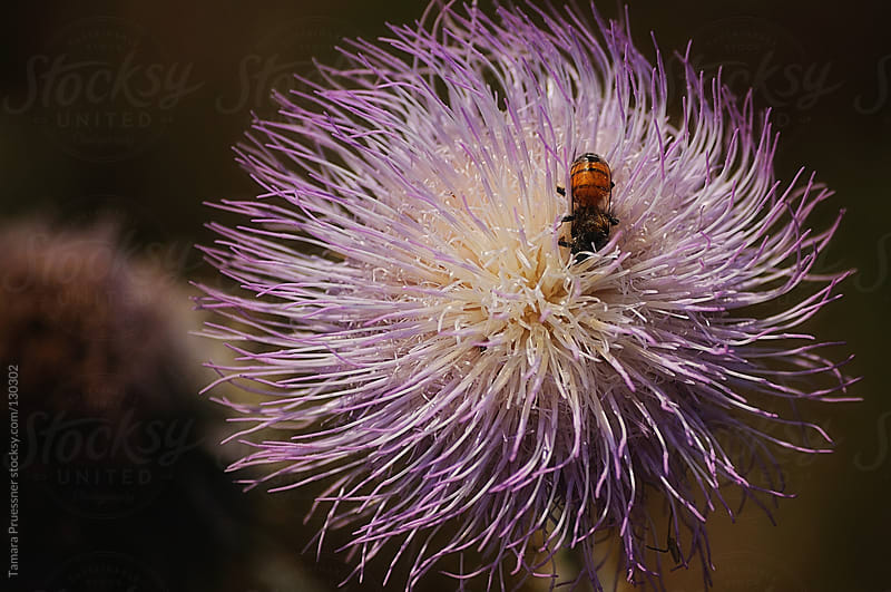 Bug On A Thistle Flower by Tamara Pruessner for Stocksy United