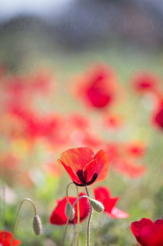 A Field of Poppies in the Sun by Helen Sotiriadis for Stocksy United