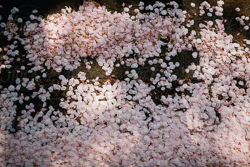 CherryBlossom by jira Saki for Stocksy United