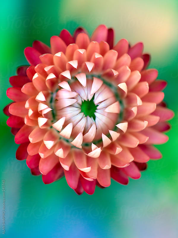 Strawflower on green and blue by ALAN SHAPIRO for Stocksy United