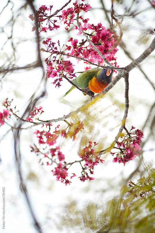 rainbow lorikeet bird in spring blossom tree by Helen Yin for Stocksy United