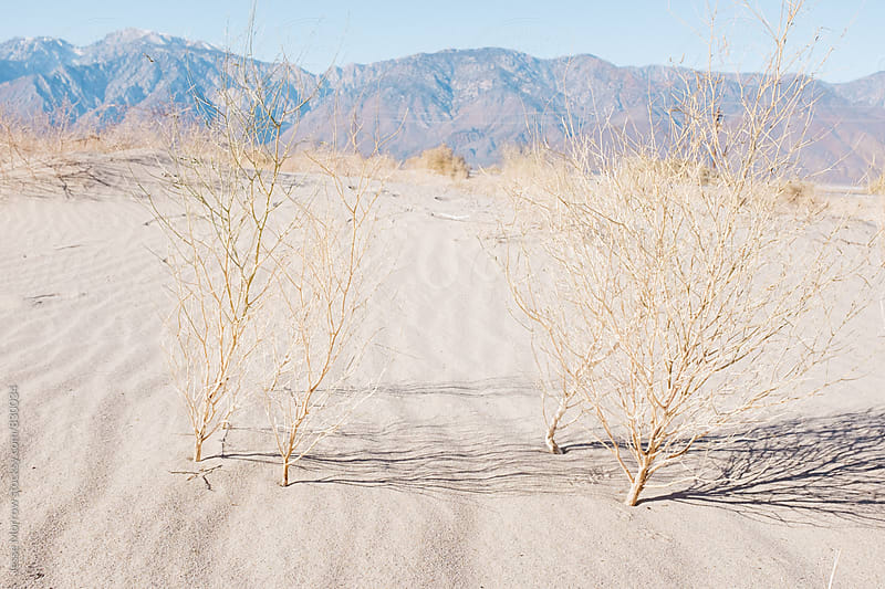dry desert weeds in sand  by Jesse Morrow for Stocksy United