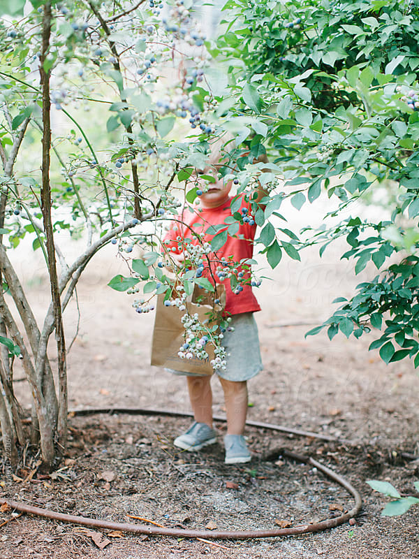 Toddler picking blueberries by Ali Harper for Stocksy United