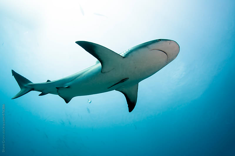 Underside of Caribbean Reef Shark by Shane Gross for Stocksy United