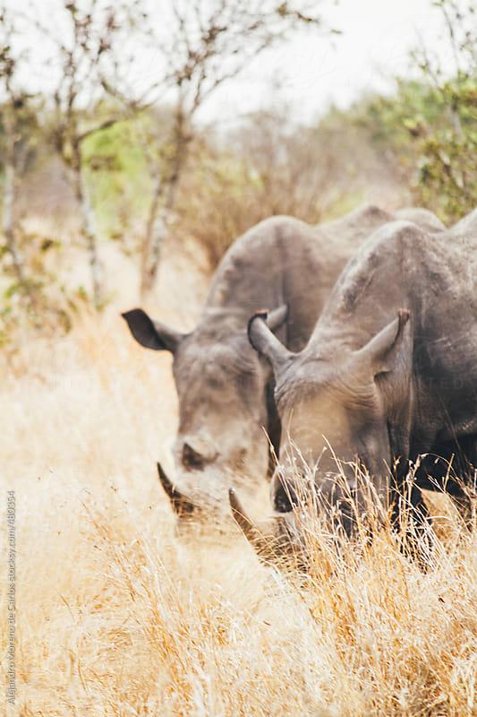 Two rhinos aligned on African savanna by Alejandro Moreno de Carlos for Stocksy United