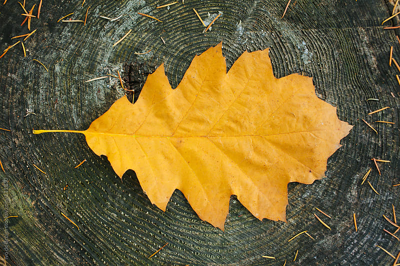 A yellow coloured autumn leave on a tree trunk by Ivo de Bruijn for Stocksy United