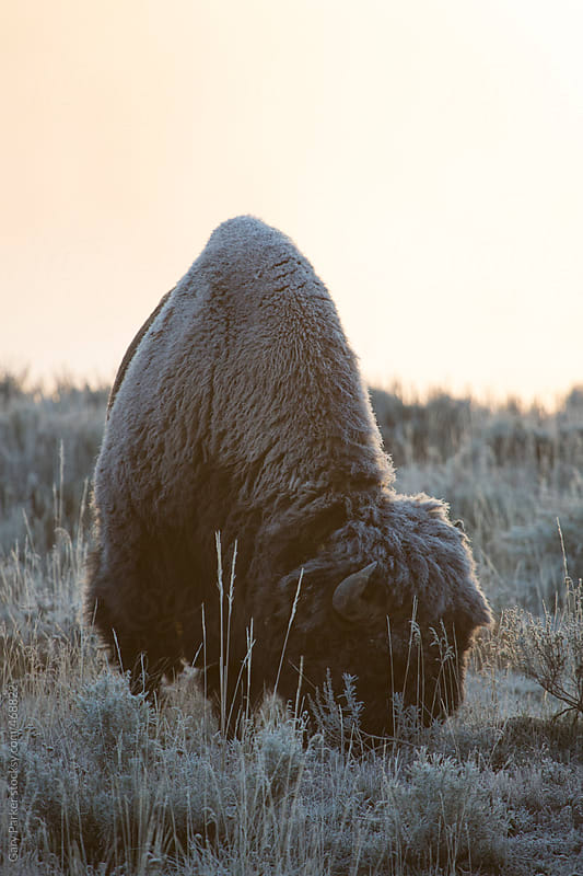 A lone bison on a frosty fall morning by Gary Parker for Stocksy United