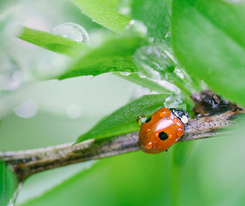 Ladybug on tree branch  by RG&B Images for Stocksy United