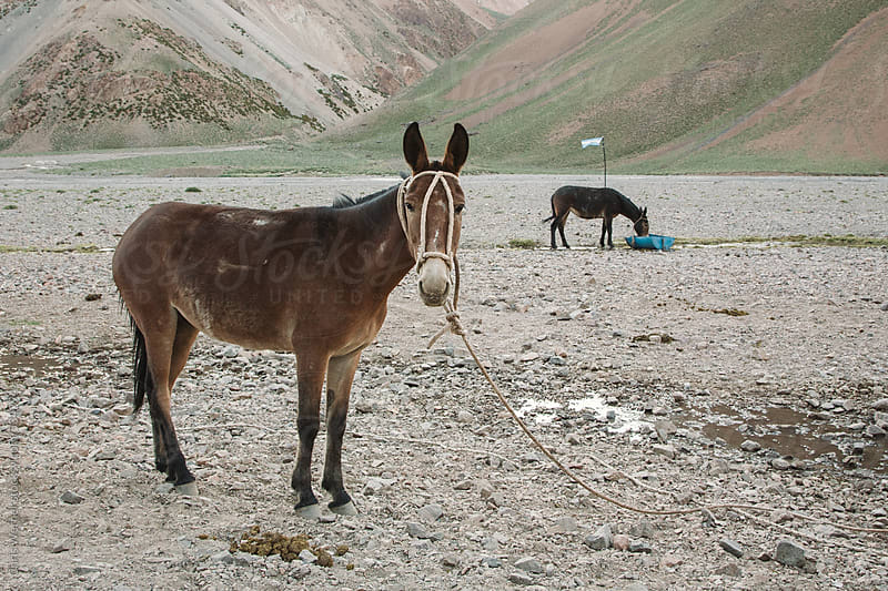 Donkeys tied up in Argentina mountains. by Chris Werner for Stocksy United