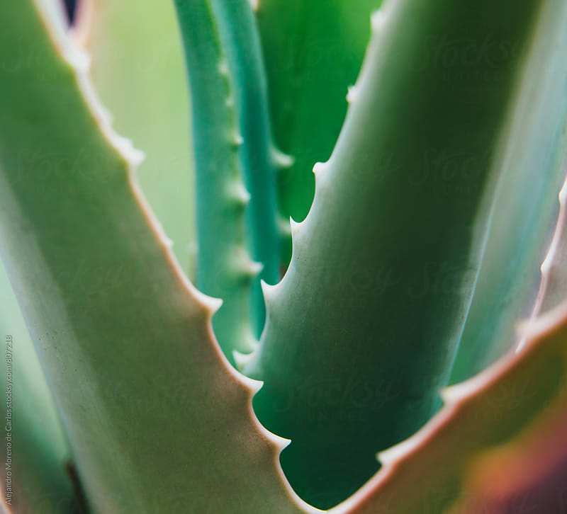 Close up of an aloe vera plant in the outside by Alejandro Moreno de Carlos for Stocksy United