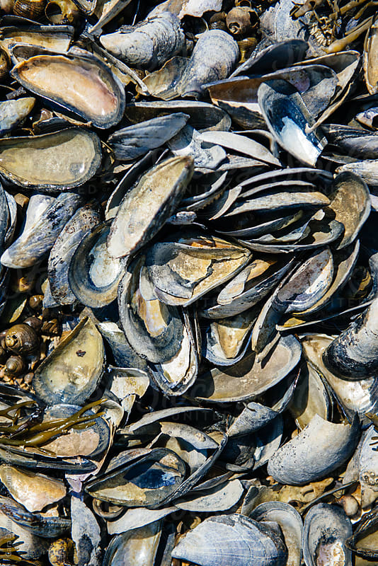 Mussel shells on the coast of maine by Cara Dolan for Stocksy United