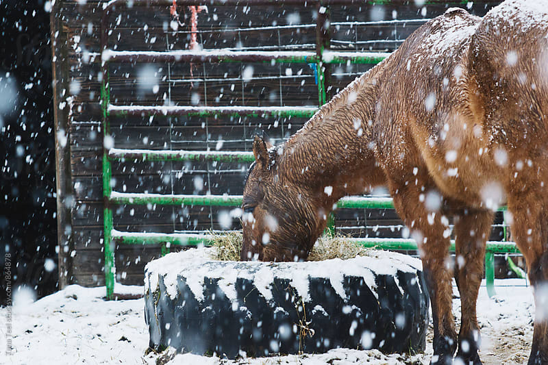 horse eats hay from large tire on cold snowy winter day by Tana Teel for Stocksy United