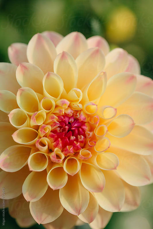 Dahlia flowerhead macro by kkgas for Stocksy United