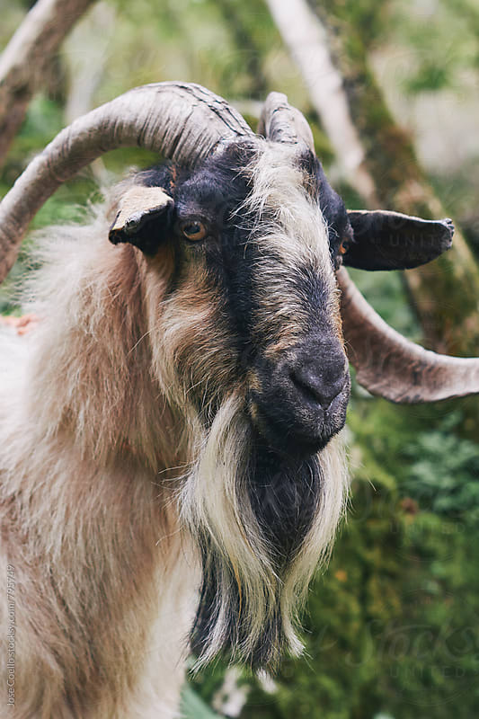 Big goat by Jose Coello for Stocksy United