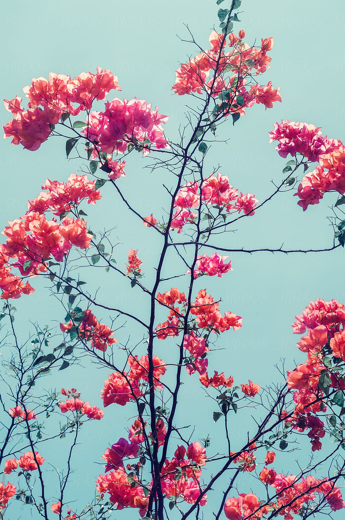 Vibrant Pink Purple Flowers Bloom Abstract Floral Background