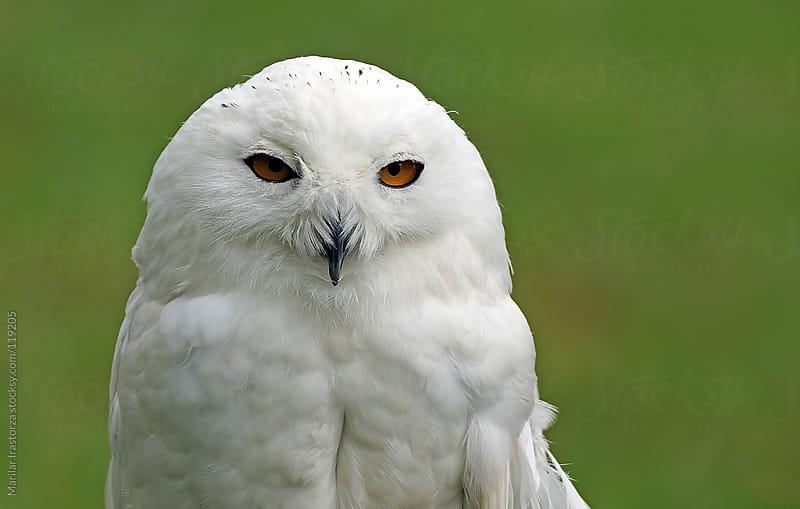 Snowy Owl by Marilar Irastorza for Stocksy United