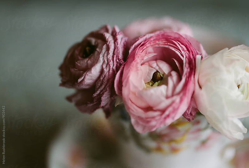 Pink Ranunculus in a vintage teacup by Helen Rushbrook for Stocksy United