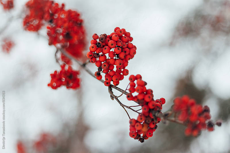 Close up of red berries on the tree by Dimitrije Tanaskovic for Stocksy United