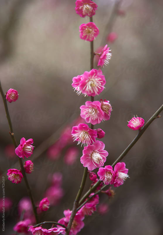 Plum Blossoms in Spring by Kimberly Kendall for Stocksy United