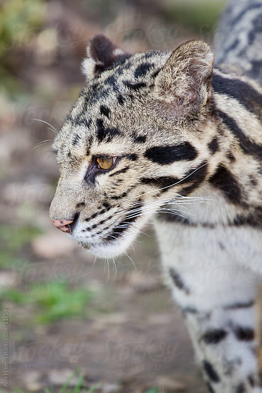 Clouded Leopard by Alex Hibbert for Stocksy United