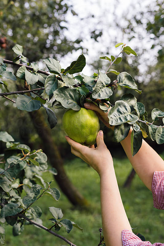 Woman holding ripening quince by Pixel Stories for Stocksy United