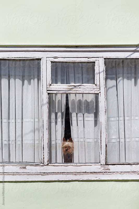 Small dog looking trough the window seen from outside  by Jovana Milanko for Stocksy United