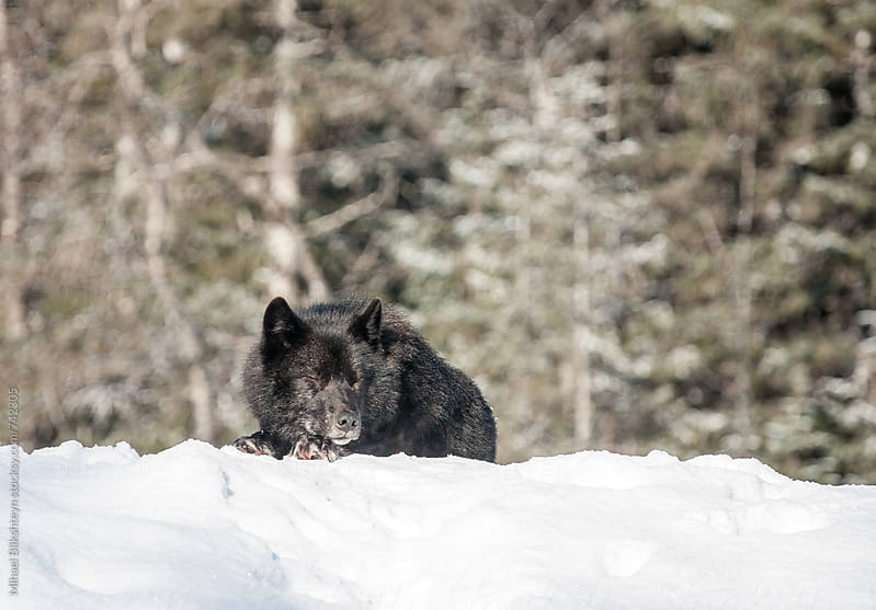 Wild black wolf sleeping on a snow bank in a forest opening by Mihael Blikshteyn for Stocksy United