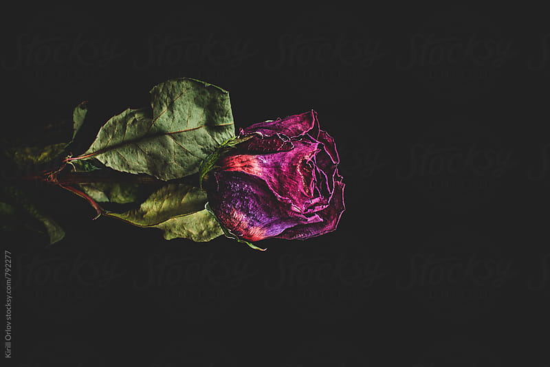Dead Rose by Kirill Orlov for Stocksy United