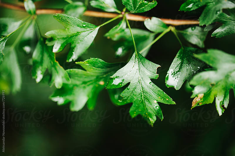 Green leaves after rain by Aleksandar Novoselski for Stocksy United