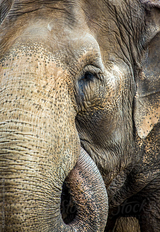Elephant from Sri Lanka  by alan shapiro for Stocksy United
