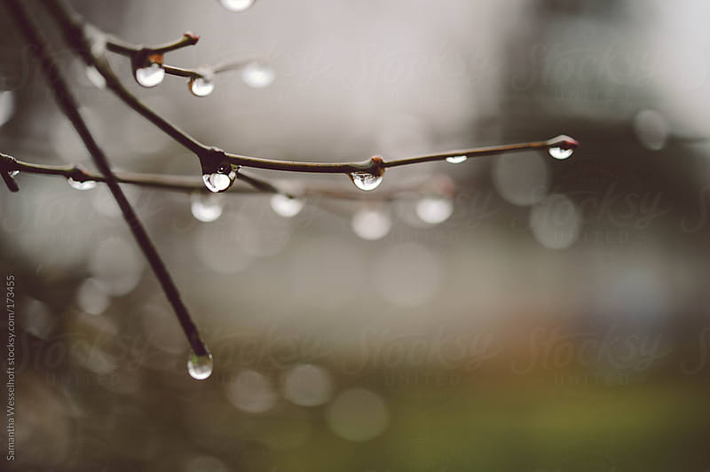 raindrops on a tree branch by Samantha Wesselhoft for Stocksy United