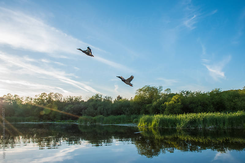 Ducks in Flight by Matthew Watson for Stocksy United