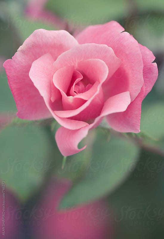 pink rose by alan shapiro for Stocksy United