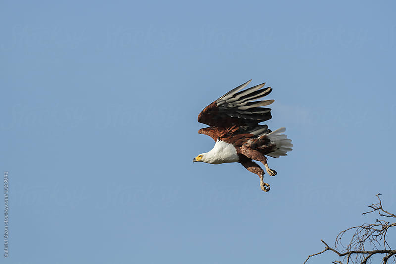 African Fish Eagle by Gabriel Ozon for Stocksy United
