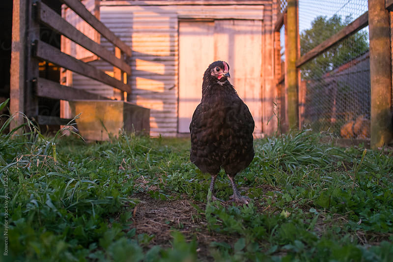 Baby Rooster at Sunrise by Rowena Naylor for Stocksy United