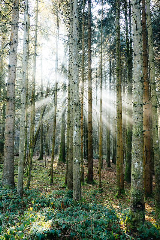 Sunbeams inside black forest by Peter Wey for Stocksy United