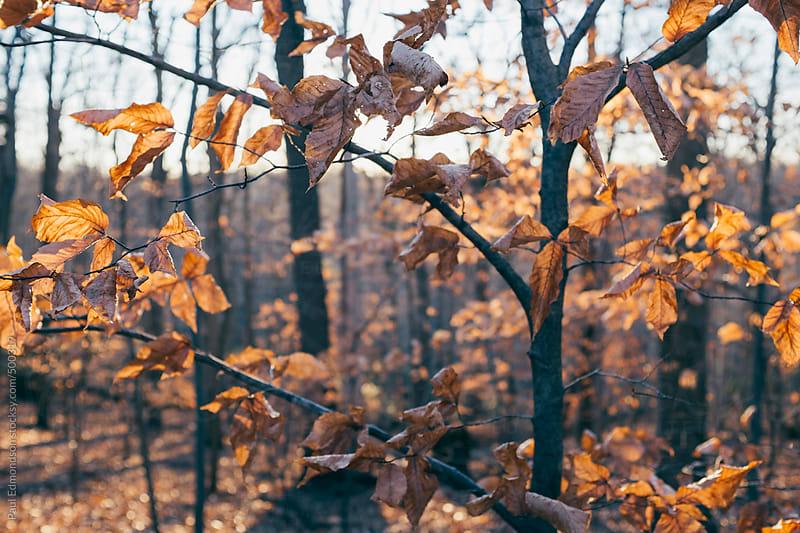 Dense hardwood forest in autumn by Paul Edmondson for Stocksy United