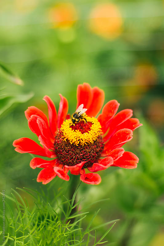 Bumblebee Pollinating A Red Flower In A Garden by Luke Mattson for Stocksy United