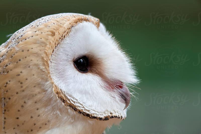 Barn Owl Closeup Portrait by Brandon Alms for Stocksy United