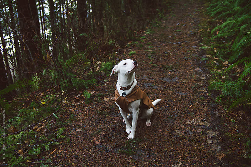 A white dog wearing a brown puppy coat sits on a trail. by Kate Daigneault for Stocksy United