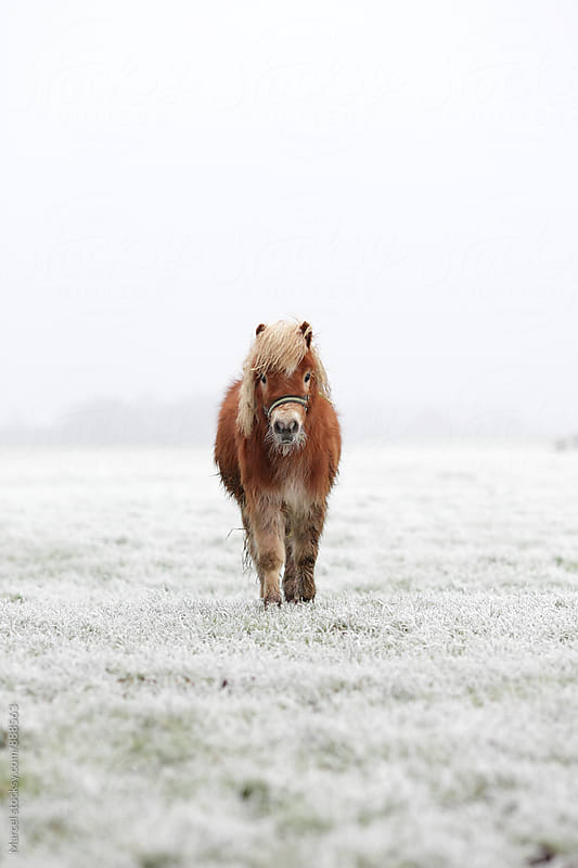 Cute young pony in winter by Marcel for Stocksy United