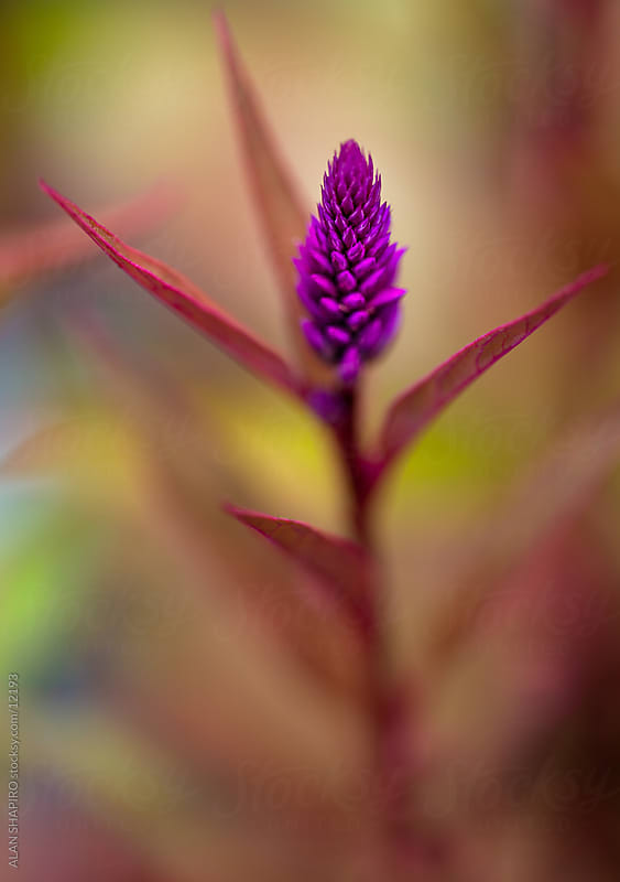 purple flower stalk by alan shapiro for Stocksy United