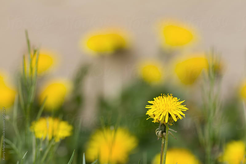 Macro of dandelion flowers in spring by Kerry Murphy for Stocksy United